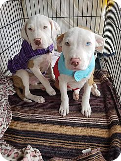 Pit Bull Terrier/Labrador Retriever Mix Puppy for adoption in Las Vegas, Nevada - Pumpkin
