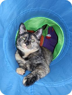 Calico Cat for adoption in Tega Cay, South Carolina - Tamari