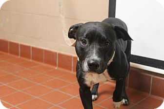 Terrier (Unknown Type, Medium)/American Staffordshire Terrier Mix Dog for adoption in Daytona Beach, Florida - Colby