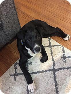 Labrador Retriever Mix Puppy for adoption in oklahoma city, Oklahoma - Zak