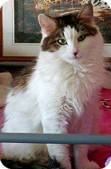 Domestic Longhair Cat for adoption in Denver, Colorado - Bailey