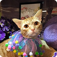 Adopt A Pet :: Cheeto - Arlington/Ft Worth, TX