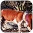 Photo 2 - Basset Hound Dog for adoption in Phoenix, Arizona - Jay-Z