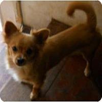 Adopt A Pet :: Grizzly - dewey, AZ