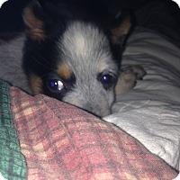 Adopt A Pet :: Royce Gill - Hazard, KY
