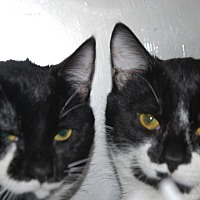 Domestic Shorthair Cat for adoption in Pottsville, Pennsylvania - Smiley and Perky