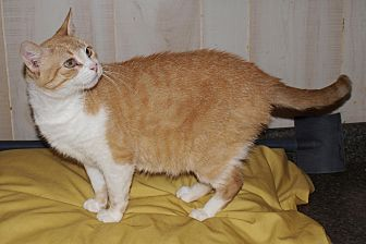 Domestic Shorthair Cat for adoption in Jackson, Mississippi - Bea