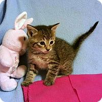 Adopt A Pet :: Pickles - Bentonville, AR