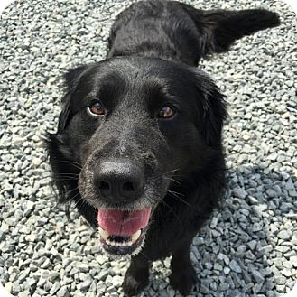 Curly-Coated Retriever/Labrador Retriever Mix Dog for adoption in Thomasville, North Carolina - Cory