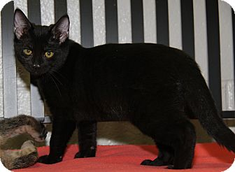 Domestic Shorthair Cat for adoption in Marietta, Ohio - Octavia (Spayed)