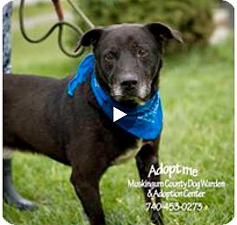 Labrador Retriever Mix Dog for adoption in Zanesville, Ohio - Sinclair - RESCUED!