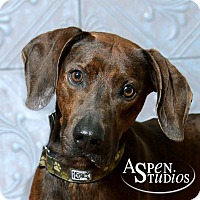 Plott Hound Dog for adoption in Valparaiso, Indiana - Archie