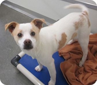 Terrier (Unknown Type, Small)/Chihuahua Mix Dog for adoption in Holton, Kansas - Barney