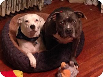 Pit Bull Terrier Mix Dog for adoption in Baltimore, Maryland - Havoc