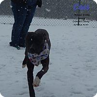 Labrador Retriever/American Staffordshire Terrier Mix Dog for adoption in Bucyrus, Ohio - Cass