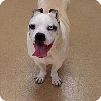 Adopt A Pet :: Chichi - Miami, FL