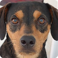 Adopt A Pet :: Catherine!  27lbs of ADORABLE! - St Petersburg, FL