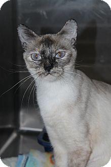 Siamese Cat for adoption in North Branford, Connecticut - J. J.