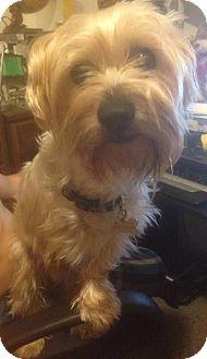 Yorkie, Yorkshire Terrier Mix Dog for adoption in Orange, California - Reese