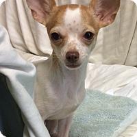 Adopt A Pet :: Baby Boy - New York, NY