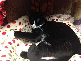 Domestic Shorthair Cat for adoption in Fresno, California - Orbit