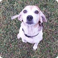 Adopt A Pet :: LulU - Williston, FL