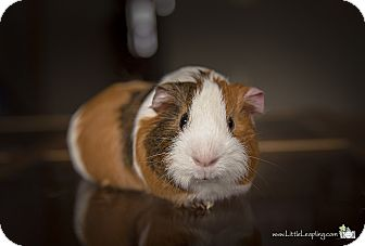 "Guinea Pig for adoption in Manhattan, Kansas - Neo ""Neapolitan"""