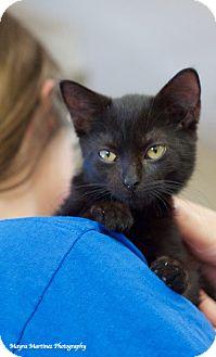 Domestic Shorthair Kitten for adoption in Nashville, Tennessee - Onyx