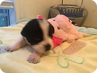 Labrador Retriever/Beagle Mix Puppy for adoption in Gallatin, Tennessee - Raspberry