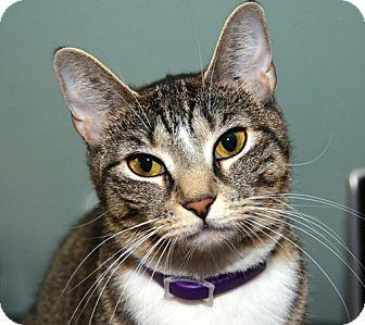 Domestic Shorthair Cat for adoption in Brooklyn, New York - Dainty Pretty Kitty, Kate