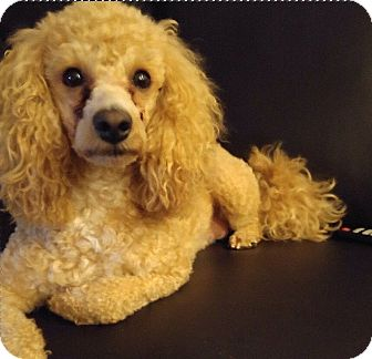 Poodle (Miniature)/Maltese Mix Dog for adoption in Mississauga, Ontario - Rockie-adoption pending