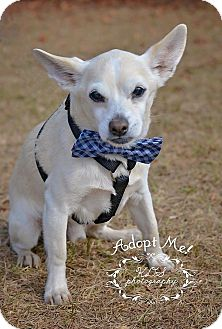 Chihuahua Dog for adoption in Fort Valley, Georgia - Nacho