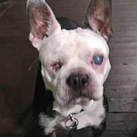 Adopt A Pet :: Jule - Jackson, TN