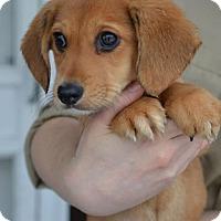 Adopt A Pet :: Alfie - Danbury, CT
