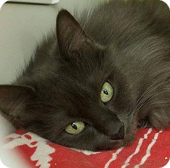 Domestic Longhair Cat for adoption in Seattle c/o Kingston 98346/ Washington State, Washington - Miranda