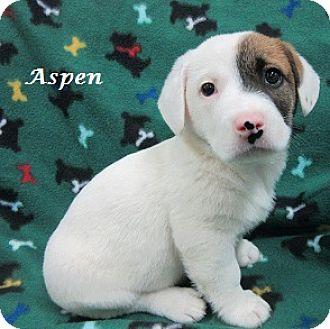 Basset Hound/Labrador Retriever Mix Puppy for adoption in Bartonsville, Pennsylvania - Aspen