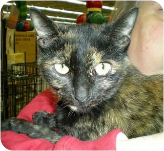 Domestic Shorthair Cat for adoption in Troy, Michigan - Tawny