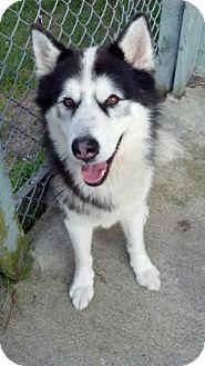 Alaskan Malamute/Husky Mix Dog for adoption in Belleville, Michigan - Koda