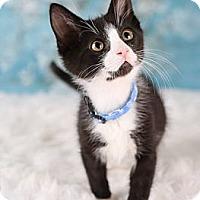 Adopt A Pet :: Cobalt - Eagan, MN