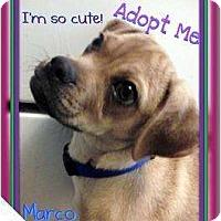 Adopt A Pet :: Marco - Lakeland, FL