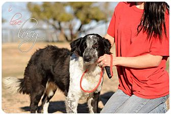 Border Collie Mix Dog for adoption in Allen, Texas - Lucy