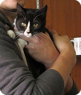 Domestic Shorthair Kitten for adoption in Grinnell, Iowa - Mittens