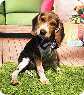 Bluetick Coonhound Mix Puppy for adoption in Castro Valley, California - Dixie