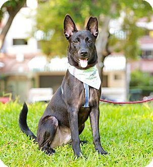 Shepherd (Unknown Type)/Labrador Retriever Mix Puppy for adoption in San Mateo, California - Booth