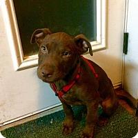 Adopt A Pet :: Amy Whinehouse - Broken Arrow, OK