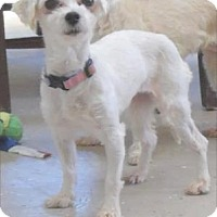 Maltese Mix Dog for adoption in Waupaca, Wisconsin - Ariel