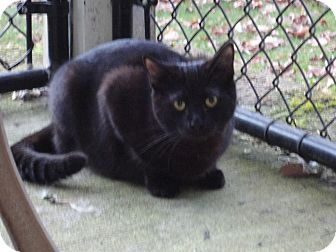 Domestic Shorthair Cat for adoption in Kingston, Washington - Shania