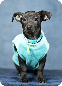 Dachshund Mix Puppy for adoption in Westminster, Colorado - Pierre