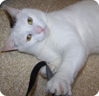Domestic Shorthair Cat for adoption in Grants Pass, Oregon - Spots