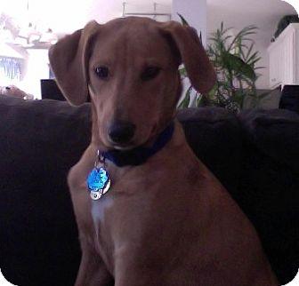 Labrador Retriever Mix Puppy for adoption in Richmond, Virginia - Brooke